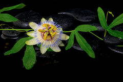 Beautiful passiflora green branch with flower on zen stones Stock Photography
