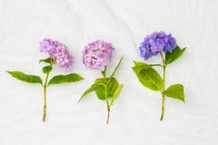 Beautiful, pastel pink and purple hydrangea flowers on white, delicate background. Beautiful and pastel colourful hydrangea flowers on white, delicate background Royalty Free Stock Photo