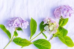 Beautiful, pastel pink and purple hydrangea flowers on white, delicate background. Beautiful and pastel colourful hydrangea flowers on white, delicate background Stock Photos