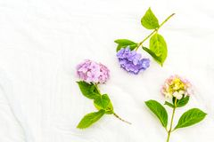 Beautiful, pastel pink and purple hydrangea flowers on white, delicate background. Beautiful and pastel colourful hydrangea flowers on white, delicate background Royalty Free Stock Photography