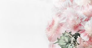 Beautiful pastel pink peonies flowers on white background, front view. Floral border or Layout or greeting card royalty free stock photos