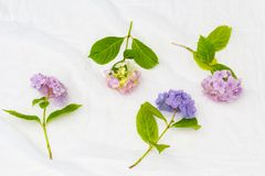 Beautiful, pastel pink and purple hydrangea flowers on white, delicate background. Beautiful, pastel hydrangea flowers on white, delicate background Royalty Free Stock Photos