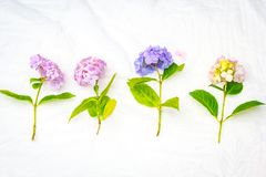 Beautiful, pastel pink and purple hydrangea flowers on white, delicate background. Beautiful and pastel colourful hydrangea flowers on white, delicate background Royalty Free Stock Image