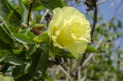 Yellow Cotton Tree Blossom. The beautiful pastel yellow color of an opened blossom of the gassypium arboreum cotton tree. The delicate multi-petal flowers are stock photos