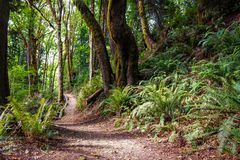 Beautiful path through a Northwest forest. Pacific Northwest forest with a clear path Stock Image