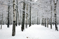 Beautiful pathway in birch grove with covered snow branches Stock Photos