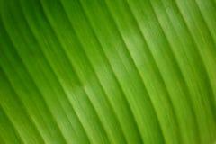 Beautiful pattern of banana leaf texture background-closeup. Beautiful banana leaf texture background-closeup Stock Photography