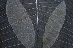 Beautiful pattern of banyan leaf veins Stock Photos