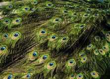 Beautiful pattern of colorful peacock tail feathers royalty free stock photography