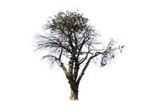 Big Leafless dead tree isolated on white background. A Beautiful pattern of dark black color Leafless dead tree isolated on white background Royalty Free Stock Photography
