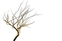 Leafless dead tree isolated on white background. A Beautiful pattern of Leafless dead tree isolated on white background Stock Photo