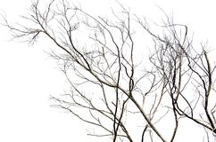 Leafless dead tree isolated on white background. A Beautiful pattern of Leafless dead tree isolated on white background Stock Photography