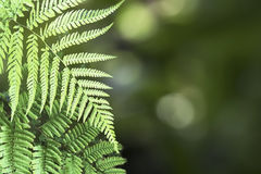 Beautiful Pattern of Tree Fern Leaves and Bokeh. Beautiful Pattern of Tree Fern Leaves and Green Bokeh Background Stock Photos
