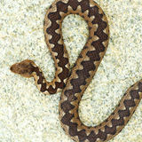 Beautiful pattern on vipera ammodytes back Stock Image