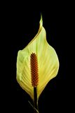Beautiful Peace Lily Flower Stock Photos