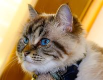 Beautiful blue eyes cat looking at the camera. Beautiful peaceful blue eyes cat looking at the camera Royalty Free Stock Photos