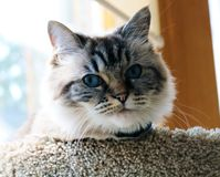 Beautiful blue eyes cat looking at the camera. Beautiful peaceful blue eyes cat looking at the camera Royalty Free Stock Photography