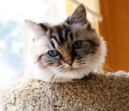 Beautiful blue eyes cat looking at the camera. Beautiful peaceful blue eyes cat looking at the camera Stock Photos