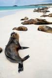 Beautiful peaceful sea lions sunbathing in a beach. At the Galapagos Islands, Ecuador Stock Images