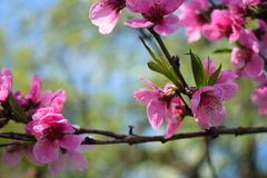 Beautiful Peach Blossom on nature background stock photo