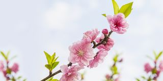Beautiful Peach Blossoms at spring.  Royalty Free Stock Photo