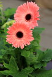 Beautiful peach colored petals of the Gerbera daisy. Gorgeous peach color of the Gerbera daisy is an enviable addition to anyone's landscaped garden Royalty Free Stock Image