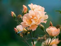 Beautiful beautiful peach-colored rose rose Royalty Free Stock Photos