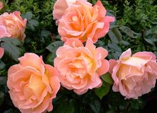 Beautiful peach coloured bush roses. Royalty Free Stock Images