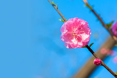 Beautiful peach flower Stock Photo