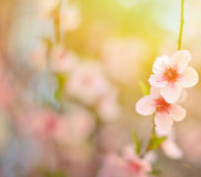 Beautiful peach flower against blured background Royalty Free Stock Photos