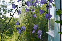 Beautiful peach-leaved bellflower Campanula persicifolia. Flowers grow in small garden. On the balcony royalty free stock photos