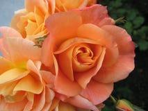 Beautiful peach orange roses in fall garden stock photo
