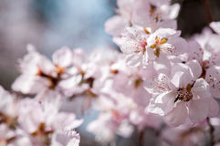 Beautiful peach tree in blossom Stock Photos
