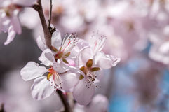 Beautiful peach tree in blossom Royalty Free Stock Photography