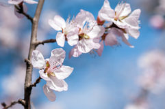 Beautiful peach tree in blossom Royalty Free Stock Photos