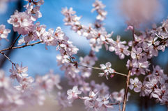 Beautiful peach tree in blossom Royalty Free Stock Images