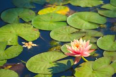 A beautiful peach and yellow lotus lily, set above a lovely group of green paddies, in a Thai pond. A beautiful peach and yellow lotus lily, set above a lovely stock images