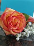 Peach and yellow rose with baby& x27;s breath. Beautiful peach and yellow rose wrapped with baby& x27;s breath Stock Photo