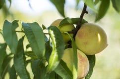 Beautiful peaches Royalty Free Stock Image
