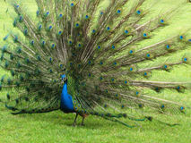 Beautiful peacock. Isolate a beautiful peacock in a lawn Stock Photos