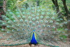 Beautiful peacock Royalty Free Stock Image