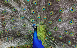 Beautiful peacock Stock Image