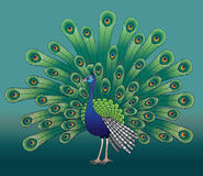 Beautiful peacock Royalty Free Stock Photos