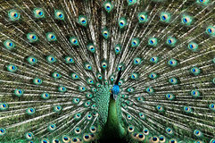 Beautiful Peacock. Spread her feather Stock Image