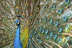 Beautiful peacock Stock Photo