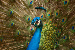 Beautiful peacock Royalty Free Stock Photography