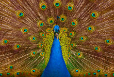 Beautiful peacock. Picture of a beautiful male peacock with colorful tail on display royalty free stock photography