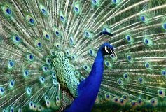 Beautiful peacock Stock Images