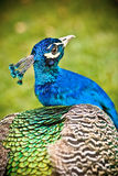 Beautiful Peacock. In the nature Royalty Free Stock Images