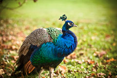 Beautiful Peacock. In the nature Stock Photo